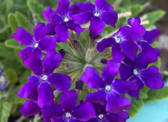 Verbena c. 'Homestead Purple'