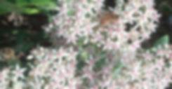 Sedum Frosty Morn - Stonecrop