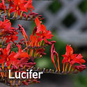 Crocosmia Lucifer - Montbretia.jpeg