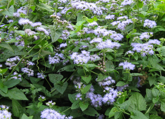 Eupatorium coelestinum 'Blue'