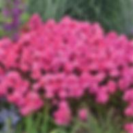 Phlox pan. Glamour Girl - Tall Garden Ph