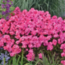 Phlox pan. Glamour Girl - Tall Garden Ph