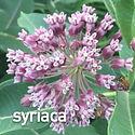 Asclepias syriaca - Common Milkweed.jpeg