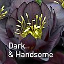Helleborus Dark & Handsome - Lenten Rose