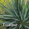 Yucca Excalibur - Adam's Needle