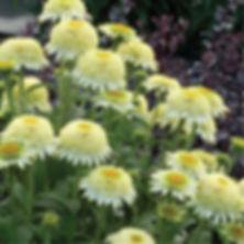 Echinacea Puff Vanilla - Coneflower.jpg