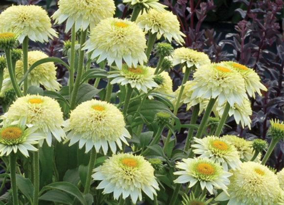 Echinacea 'Puff Vanilla'