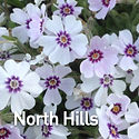 Phlox sub. North Hills - Creeping Phlox.