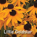 Rudbeckia Little Goldstar - Black-Eyed Susan