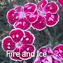 Dianthus Fire & Ice - Pinks.jpeg