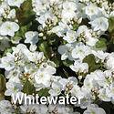 Veronica Whitewater - Speedwell