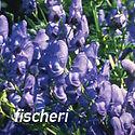 Aconitum fischeri - Monkshood