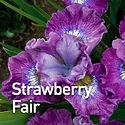 Iris s. Strawberry Fair - Siberian Iris.