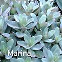 Sedum Marina - Stonecrop.