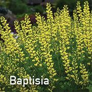 Baptisia American Goldfinch - False Indigo