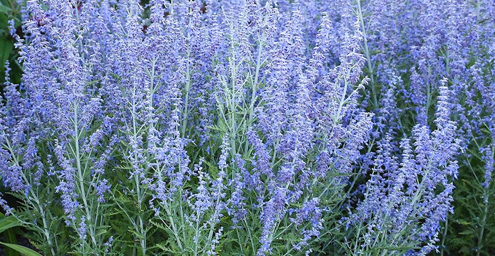 Perovskia Blue Jean Baby - Russian Sage.