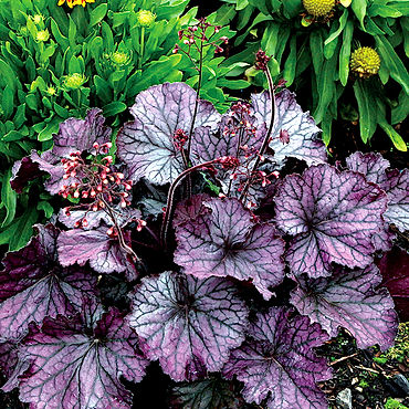Heuchera Northern Exposure Purple - Coral Bells
