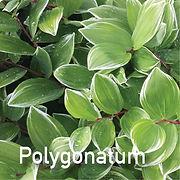Polygonatum var. - Solomon's Seal