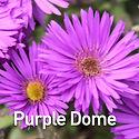 Aster n-a. Purple Dome - Michaelmas Dais