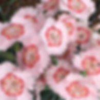 Dianthus Georgia Peach Pie - Pinks.jpg