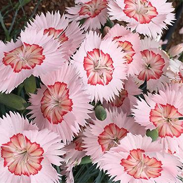 Dianthus Georgia Peach Pie - Pinks.jpg
