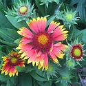 Gaillardia g. Goblin - Blanket Flower.jp