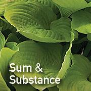 Hosta Sum & Substance