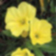 Oenothra missouriensis - Missouri Primrose.