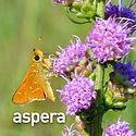 Liatris aspera - Button Blazing Star.jpe