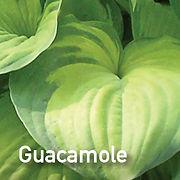 Hosta Guacamole