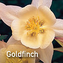 Aquilegia Songbird Goldfinch - Columbine
