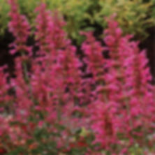 Agastache Morello - Hummingbird Mint.jpg