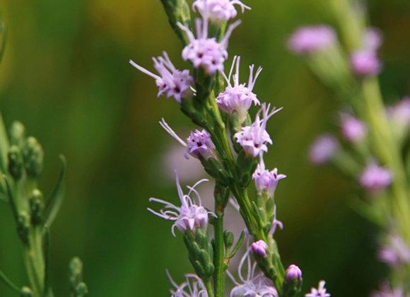 Liatris microcephala