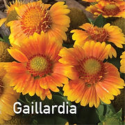 Gaillardia Arizona Apricot - Blanket Flower