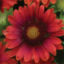 Gaillardia Mesa Red - Blanketflower.jpg