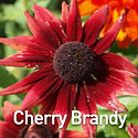 Rudbeckia h. Cherry Brandy - Black-Eyed