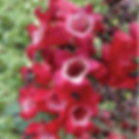 Penstemon Cherry Sparks - Beardtongue.jp