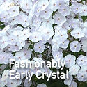Tall Phlox Fashionably Early Crystal