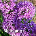 Allium Millenium - Ornamental Onion.jpeg