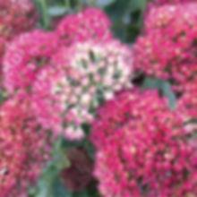 Sedum Autumn Joy - Stonecrop.jpg