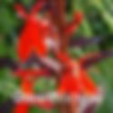 Lobelia f. Queen Victoria - Cardinal Flower