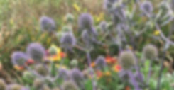 Eryngium Blue Glitter - Sea Holly