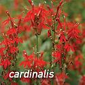 Lobelia cardinalis - Cardinal Flower.