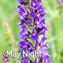 Salvia May Night.jpeg