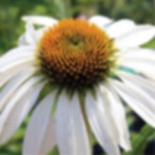 Echinacea p. White Swan - Coneflower.jpg