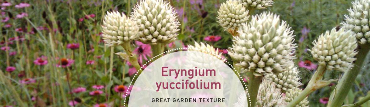 Eryngium yuccifolium - Rattlesnake Master.jpeg
