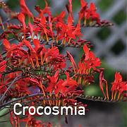 Crocosmia Lucifer - Montbretia