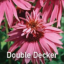 Echinacea Double Decker - Coneflower