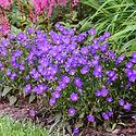 Campanula c. Violet Teacups - Carpathian