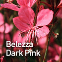 Gaura Belezza Dark Pink - Beeblossom.jpe
